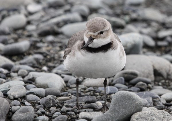 Wrybill, photo by Elis Simpson