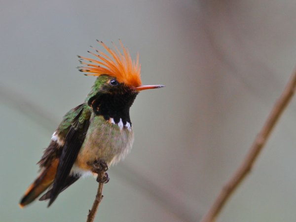 Rufous-crested Coquette by Marcelo Padua.