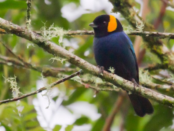 The Yellow-scarfed Tanager is emblematic of Peru's multitudes of exuberantly colorful tanagers. Photo by Steve Howell.
