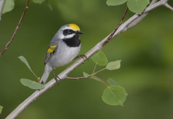 Golden-winged Warbler, Burnett County, Wisconsin, 12 June 2014.  Photo © Bill Schmoker