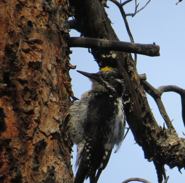 American Three-toed Woodpecker (Photo by Jennie Duberstein)