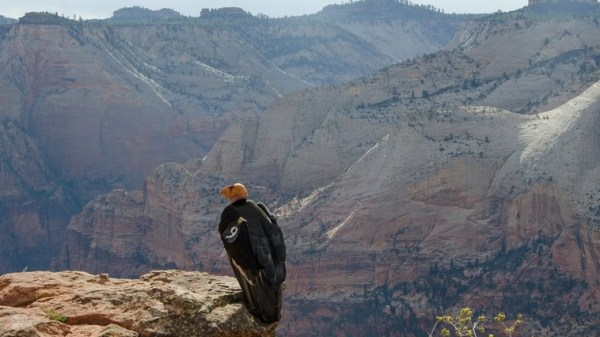Condor #9, mother to the Utah chick, at Zion NP, photo courtesy of the National Park Service