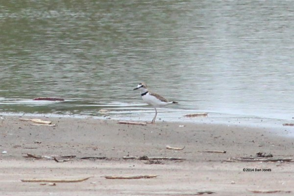 Collared Plover at Hargill, TX on Aug 2, 2014. Photo by Dan Jones.