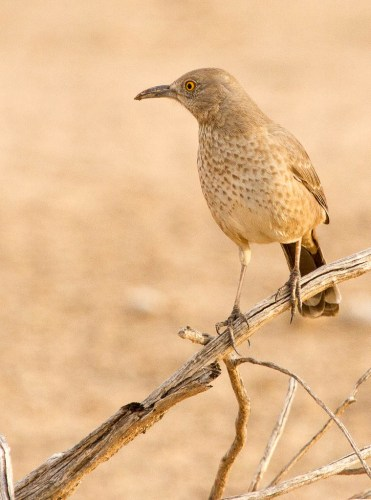 Bendire's Thrasher/Photo by Steve Valasek via Flickr Creative Commons