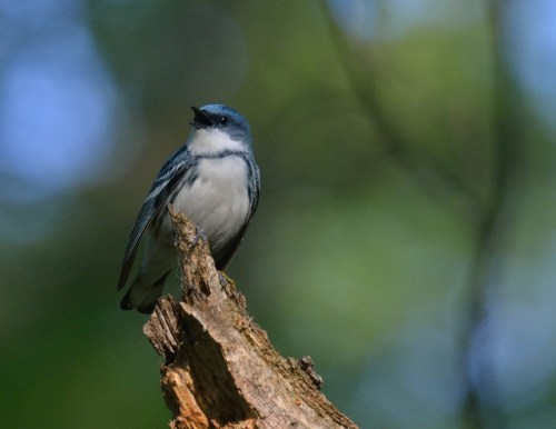 Cerulean Warbler/Photo by Matt Stratmoen via Flickr Creative Commons