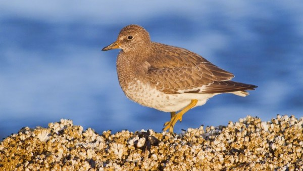 A Surfbird, photographed by Dorian Anderson. This particular bird was #541 for his extraordinary year.