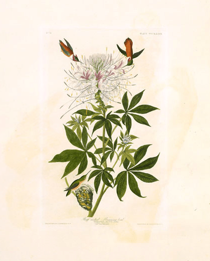 Audubon, Birds of America 379, rufous hummingbird