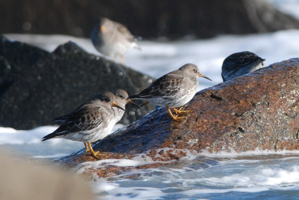 Often referred to affectionately as 'PUSAs' the Purple Sandpiper, not even adult males, bear no relation to the national dish of El Salvador, the papusa. (c) Jeannette Lovitch