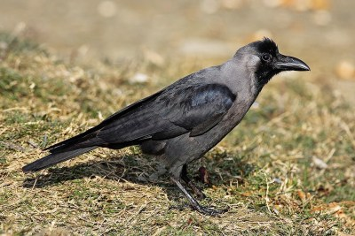 House Crow (Corvus splendens). Next up for the Pittsburgh CBC? Who knows! One thing seems certain: The region's bird life will be very different in the late 2040s.
