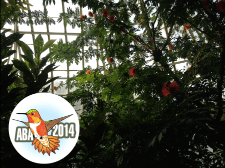 Young birder Hannah Floyd recently reported an ABA 2014 Bird of the Year Rufous Hummingbird at the Phipps Conservatory, Pittsburgh, Pennsylvania. As a matter of course, she cell-phone-photo-documented its host plant, Calliandra haematocephala.