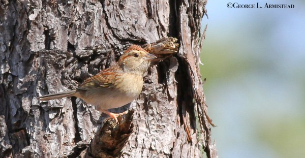 Bachman's Sparrow at Kisatchie National Forest.