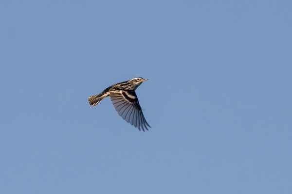 15-2-12-01 [Black-and-white Warbler, main image]