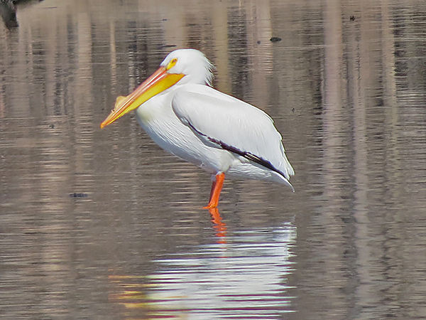 American White Pelican. Photo by Jeff Skrentny.