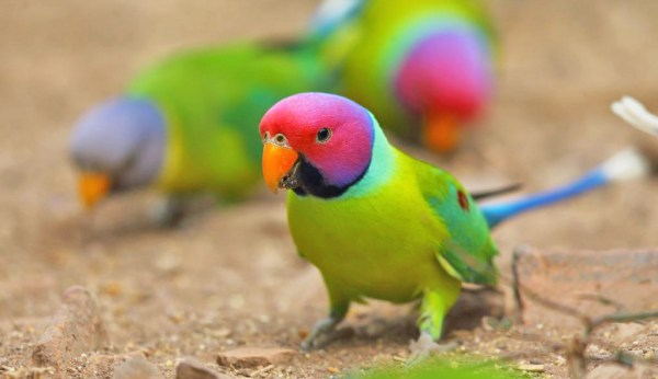 Plum-headed Parakeets in Ranthambhore National Park by Adam Riley