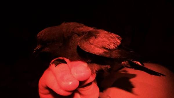 The ABA Area's 3rd Wedge-rumped Storm-Petrel, mist-netted on SE Farallone, California, photo via Point Blue Conservation