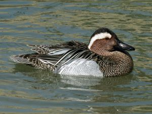You would think that distinctive birds like Lewis's Woodpecker, Williamson's Sapsucker, Black Oystercatcher, and Garganey would be unforgettable!  Garganey by Dick Daniels courtesy Creative Commons