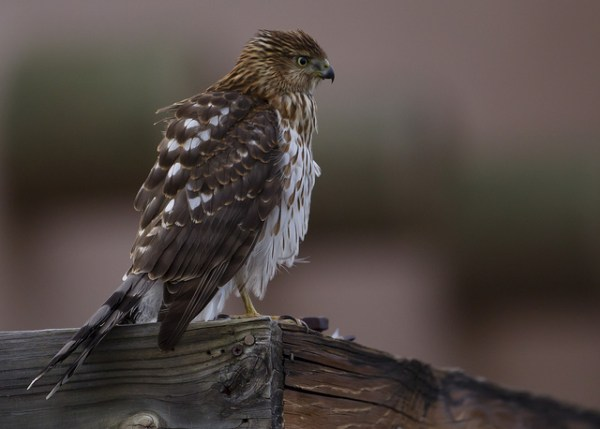 A young Coopers Hawk on a manmade structure, an increasingly common sight continent-wide. Photo by Manjith Kainickara via flickr