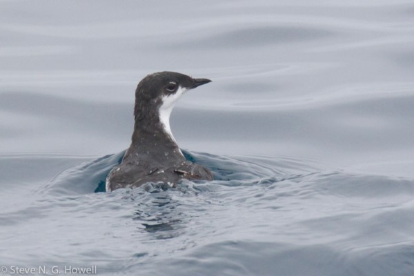 And 10 minutes later, Scripps's Murrelet!