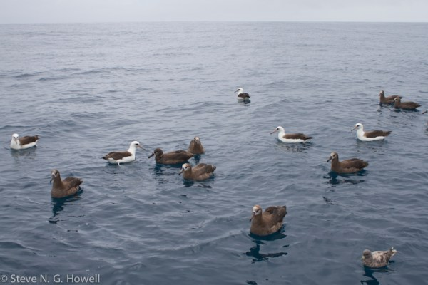 Laysan and Black-footed albatrosses, and not too rough!
