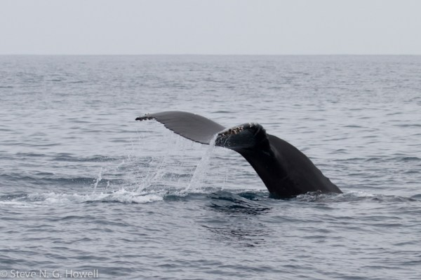 That's all folks (for now), a Humpback Whale saying goodbye.