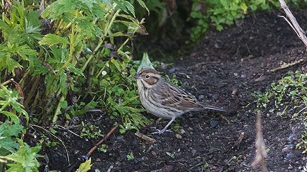 Little Bunting from St. Lawrence Island yesterday, photo by Gary Rosenberg