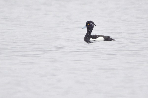 Long ancticipated, this Tufted Duck represents first for New Hampshire, pending acceptance. Photo: Kyle Wilmarth