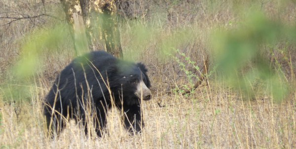 Most unexpected was that many in our group had sightings of Sloth Bears in Ranthambhore. There are only a few dozen in the park. (Photo by Greg Johnson)