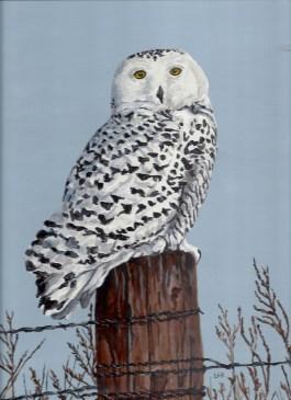 Snowy Owl 13