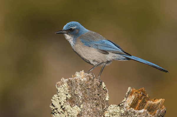 "This scrub-jay is the Featured Photo in the April 2016 Birding. As to which species, geography plays a huge role--perhaps the only role--in the ID process. Are the scrub-jays among the ""least-identified"" bird species in the ABA Area? Photo by (c) Brian E. Small."