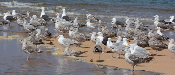 Gulls at Race Point Beach, Massachusetts, July 20, 2015. Photo by © Amar Ayyash.