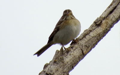 Adult Clay-colored Sparrow, Walmart Supercenter, Lafayette, Boulder County Colorado; Aug. 28, 2016, 7:35 a.m.