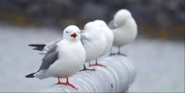 Red and Black-legged Kittiwakes on St. Paul Island, Alaska