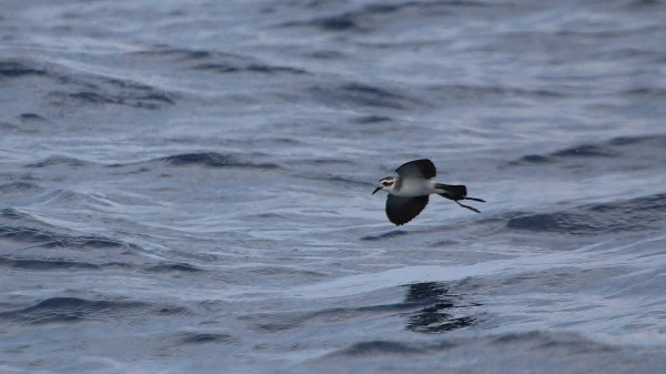 It was a week for White-faced Storm-Petrel in the ABA Area, the most notable individual of which was a surprise off Hatteras, North Carolina. Photo: Chloe Walker