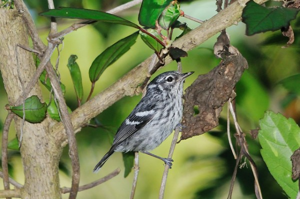 The striking Elfin Woods Warbler, a species endemic to the US territory of Puerto Rico, has had a checkered ESA history. Photo: USFWS