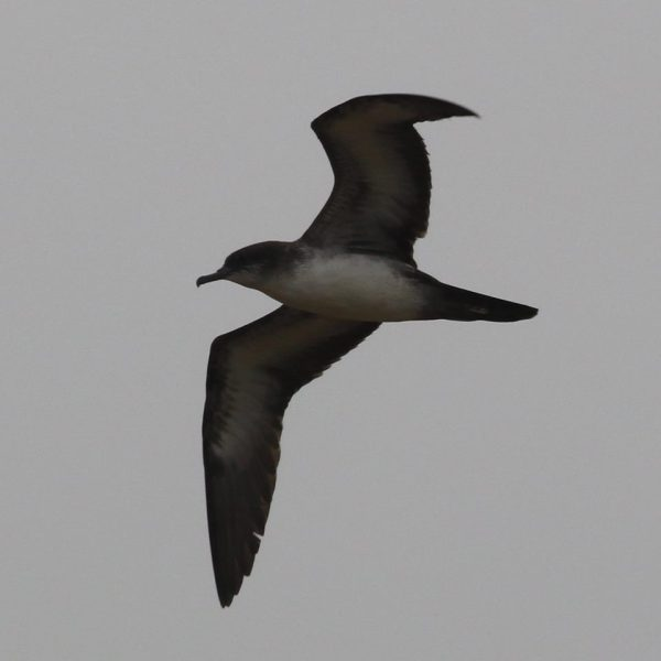 Wedge-tailed Shearwater, another Arizona 1st. Photo: Laurens Halsey