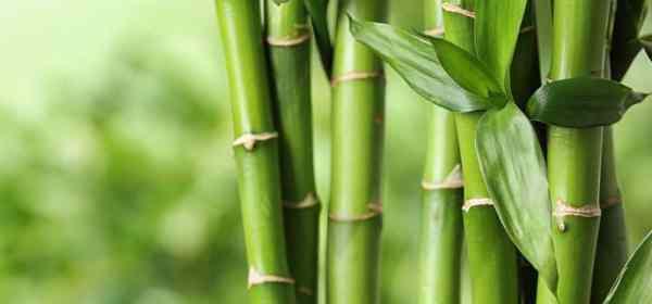 bambou bienfaits