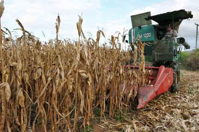 colheita da cultura do milho