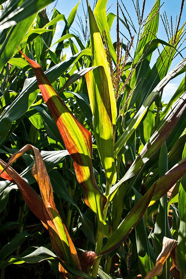 enfezamento-vermelho-milho