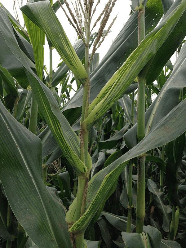 enfezamento-palido-milho