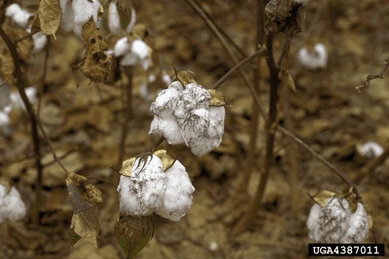 5-principais-pragas-do-algodão