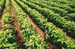 cultivares-de-soja