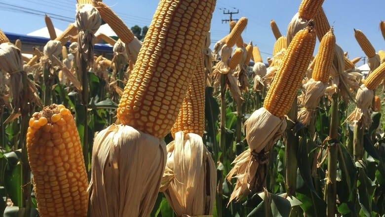 ciclo do milho safrinha