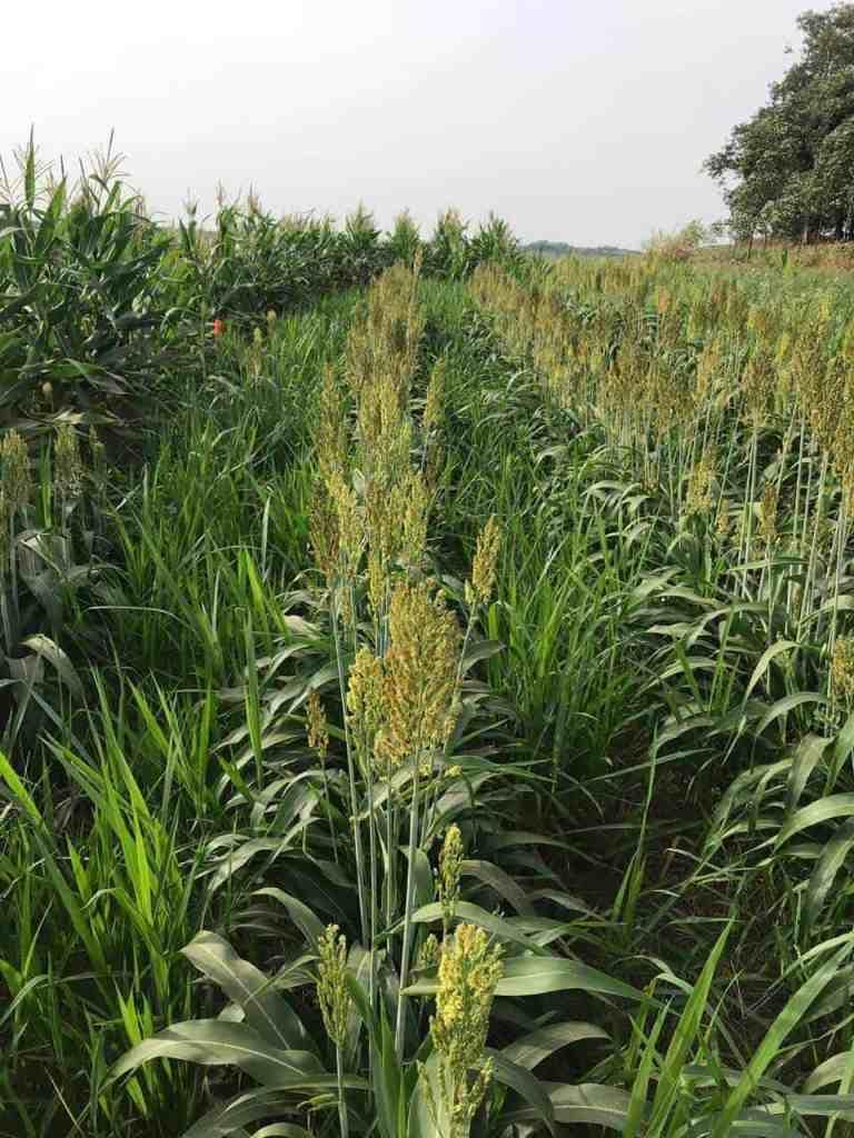 milho e sorgo consorciados à brachiaria
