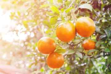 citros citrus