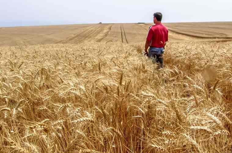 lavoura de trigo