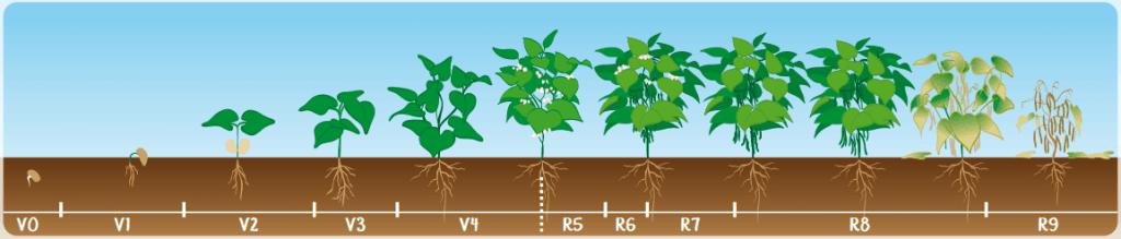 qual a melhor época para plantar feijão