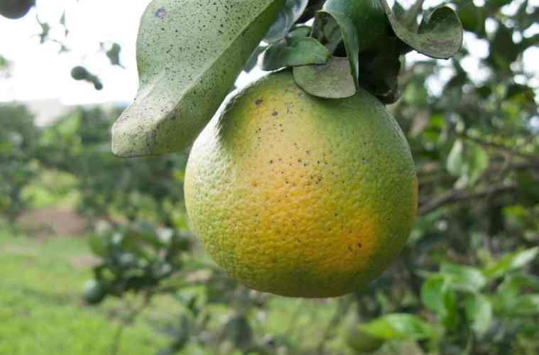 doenças dos citros