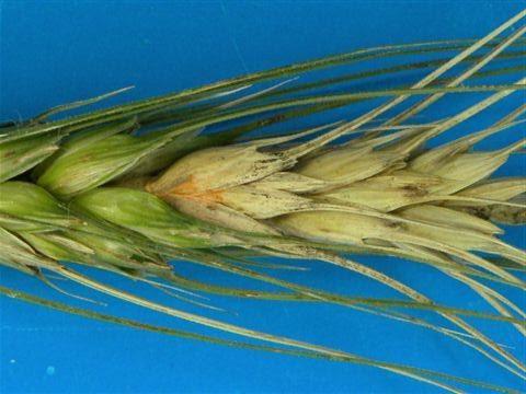 Maria Imaculada Lima - Giberela em trigo
