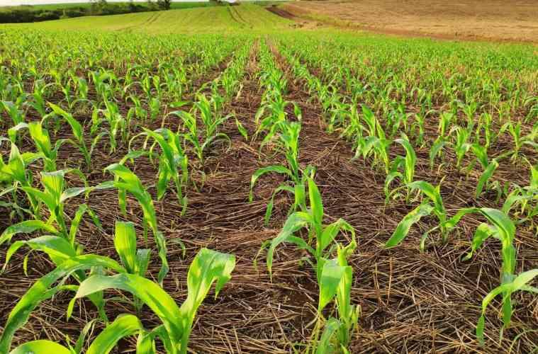 plantio direto de milho
