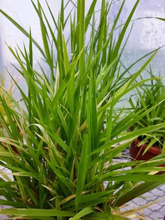 foto de doença ponta branca em planta de arroz